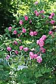 Metal chair in rose garden