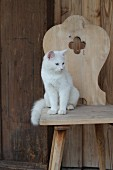 White cat sitting on rustic wooden chair with carved backrest