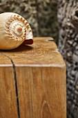 Seashell on wooden plinth