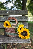 Sunflowers in basket with handle on weathered wooden bench outdoors
