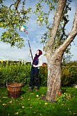 Woman harvesting apples from tree using apple picker