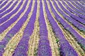 Lavender field; Sault, Vaucluse, Provence, France