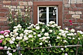 Hydrangeas & hollyhocks in front of old stone house (Alsace, France)