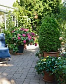 Shady terrace outside conservatory with flowering hydrangeas, potted thuya and wooden lounger