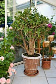 Money tree (Crassula ovata) in terracotta pot in conservatory with open doors and pink-flowering geranium on white tiled floor