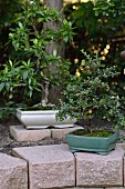 Two bonsai trees in white and turquoise bonsai bowls in garden