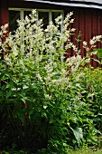 White-flowering knotweed outside wooden house
