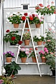 Geraniums on white plant shelves made from ladder