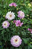 Pale lilac dahlias