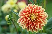 Yellow and orange dahlia flower