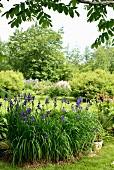 Flowering bed of iris in foreground in landscaped garden