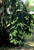 Detail junger, hellgrüner Triebe an Siskiyou-Fichte (Picea breweriana)