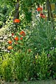Poppies in flowering garden