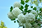 Branch of double snowball flowers