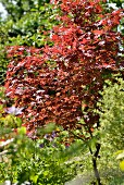 Red, Japanese maple tree in summery garden