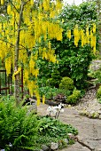 Laburnum at crossing of two paths in garden