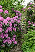 Purple rhododendron next to secretive cobbled path in landscaped garden