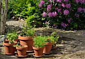 Seedlings in various terracotta plant pots in sunny spot in front of rhododendron bush