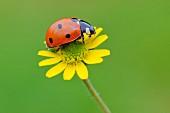 Ladybird on yellow flower