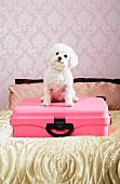 Small, white poodle sitting on pink suitcase on bed