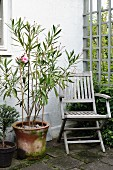 Oleander in terracotta pot and weathered teak chair in corner of terrace formed by house facade and wooden trellis