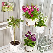 Flowering stocks in white pots hung on ladder against white wooden wall