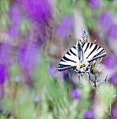 Scarce swallowtail (Iphiclides podalirius) on flowering lavender