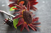 Red sunflower blooms