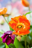 Orange anemone and purple tulip