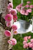 Garland of pink daisies hanging on birch trunk