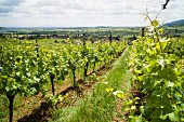 Vineyard Rietsch, Alsace