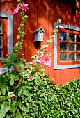 Hollyhocks in front of orange-red wooden house façade