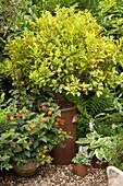 Blühendes Wandelröschen und Kumquatbaum in Tontöpfen auf Kiesfläche im Innenhof