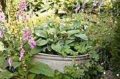Pink foxglove and hosta planted in zinc tub in garden