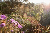 Nursery bed of winter asters, grasses and shrubs in hazy sunlight