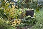 Freshly harvested apples next to tree trunk and in bucket in autumnal ambiance