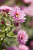 Pastel pink asters in sunlight