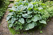 Hosta with large leaves in flowerbed