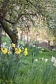 White and yellow daffodils around gnarled tree in spring garden