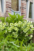 Hellebores in garden against blurred façade