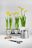 Spring narcissus in metal pots next to scissors and reel of string