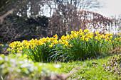 Flowering narcissus in garden