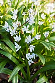 Squill in spring flowerbed