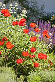 Flowering corn poppies in sunny garden