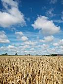 Blick über Getreidefeld in die Landschaft
