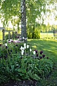 White and dark purple tulips ('White triumphator' and 'Königin der nacht') in sunny garden