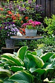 Hosta in front of potted plant on garden table and chair in flowering garden