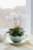 White African violet in vintage teacup and saucer on doily in front of window