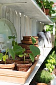 Potted cucumber seedling on greenhouse shelf