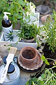 Plant pots and potted herbs in white-painted crate
